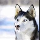 Huskiesforlife
